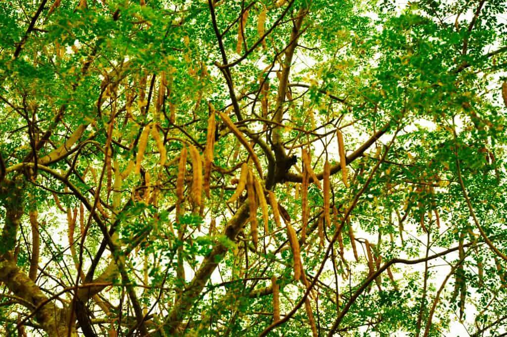 Moringa-arbre