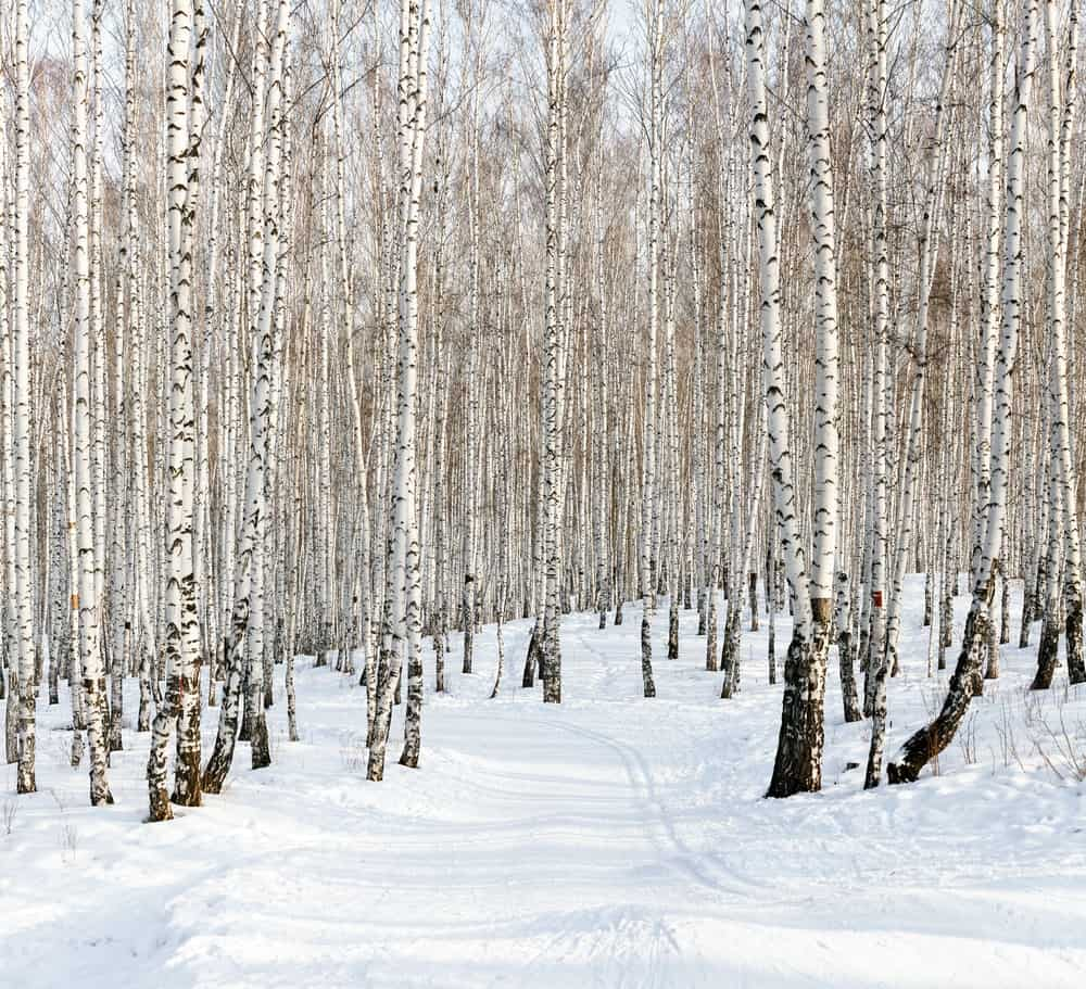 Bouleau en hiver-jus