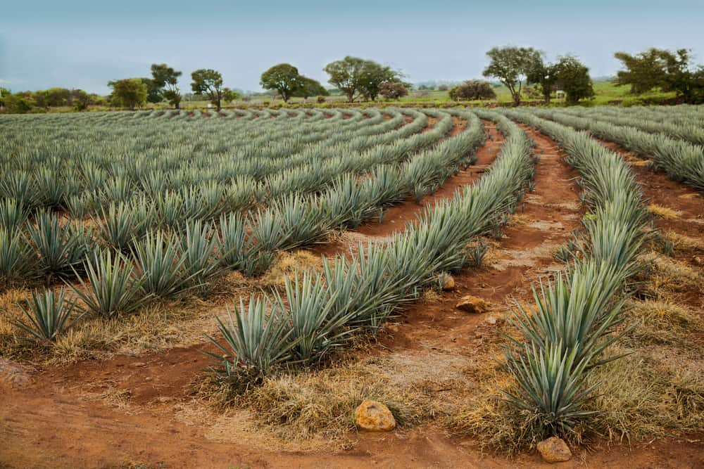 sirop-d-agave-plante